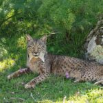 The First of Seven Iberian Lynx Released